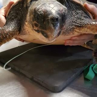 Rapidamente assunta dai guaritori, la piccola tartaruga è stata curata con successo.