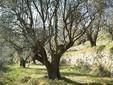 Foto 5: Passeggiare nell'antico uliveto di Villa Barbary