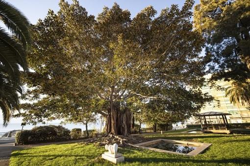 Il Ficus Macrophylla di Menton