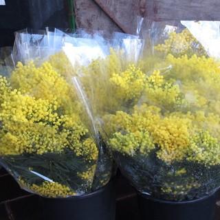 Finalmente le mimose: la primavera è alle porte