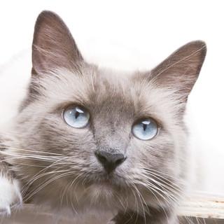 Caratteristiche dei gatti Radgoll