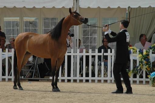 Mentone propone il 26 e 27 giugno il 30^ Campionato dei Purosangue Arabi